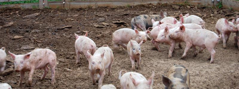 slow food varkens